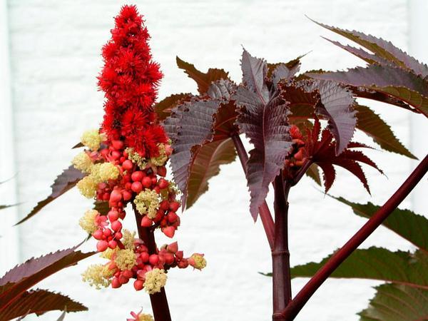 Ricinus (Ricinus) https://www.sagebud.com/ricinus-ricinus/