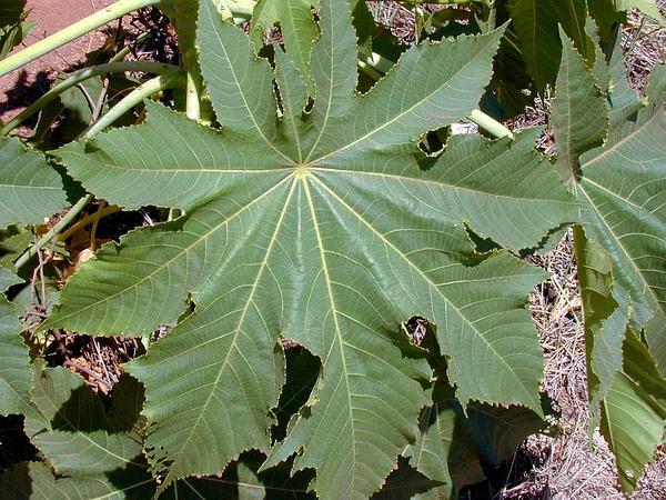 Castorbean (Ricinus Communis) https://www.sagebud.com/castorbean-ricinus-communis