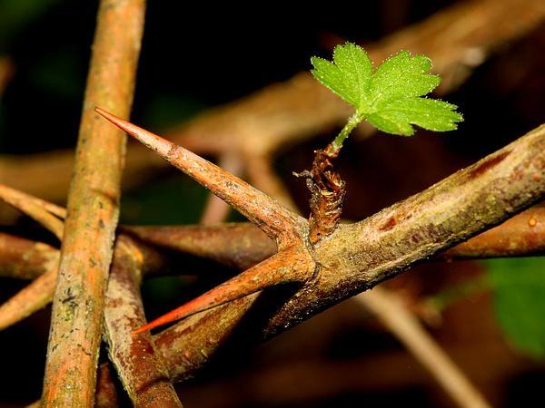Spreading Gooseberry (Ribes Divaricatum) https://www.sagebud.com/spreading-gooseberry-ribes-divaricatum