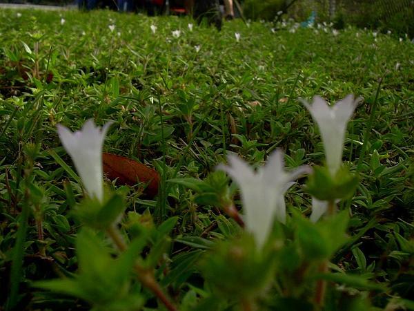Largeflower Mexican Clover (Richardia Grandiflora) https://www.sagebud.com/largeflower-mexican-clover-richardia-grandiflora