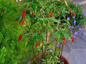 Rougeplant