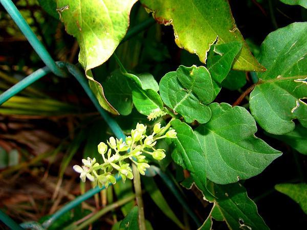 Rougeplant (Rivina Humilis) https://www.sagebud.com/rougeplant-rivina-humilis