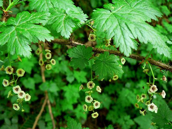 Prickly Currant (Ribes Lacustre) https://www.sagebud.com/prickly-currant-ribes-lacustre