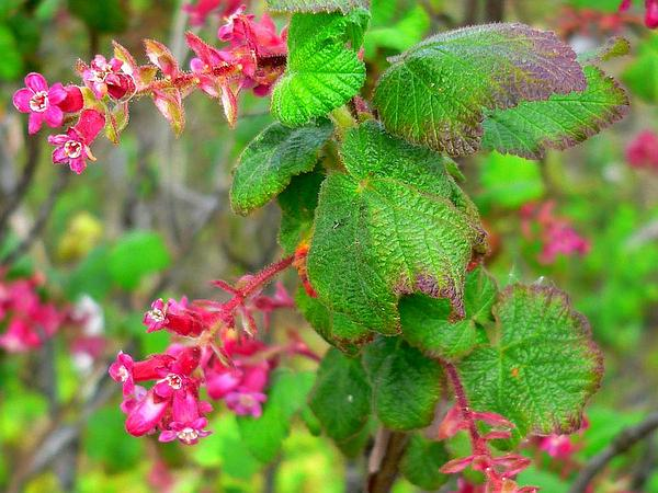 Chaparral Currant (Ribes Malvaceum) https://www.sagebud.com/chaparral-currant-ribes-malvaceum