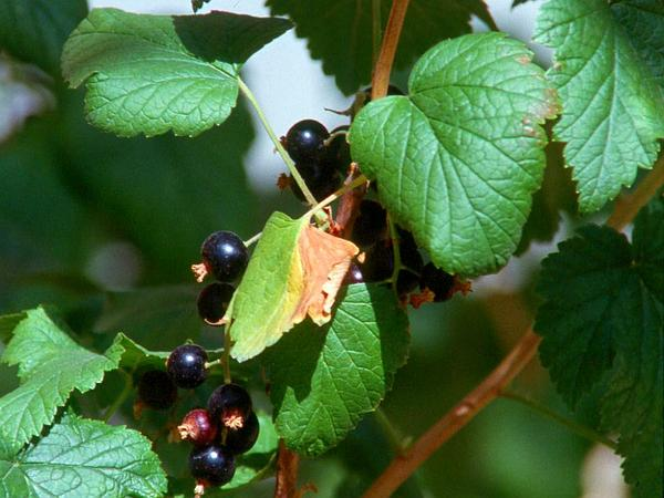 European Black Currant (Ribes Nigrum) https://www.sagebud.com/european-black-currant-ribes-nigrum