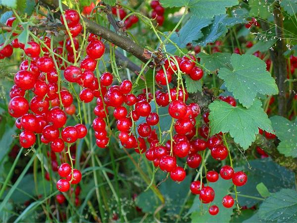 Cultivated Currant (Ribes Rubrum) https://www.sagebud.com/cultivated-currant-ribes-rubrum