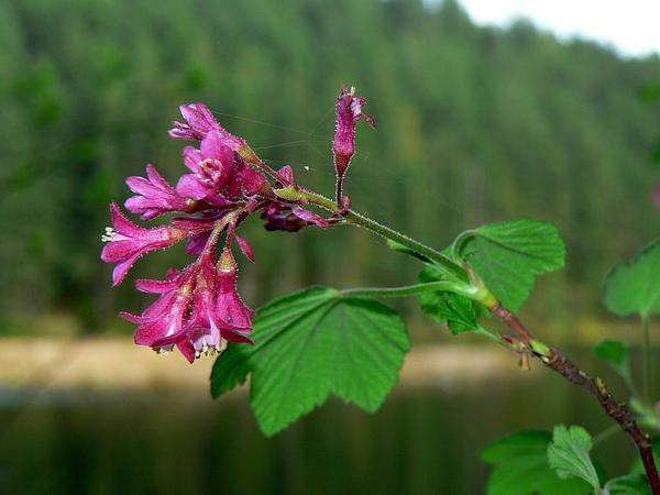Redflower Currant (Ribes Sanguineum) https://www.sagebud.com/redflower-currant-ribes-sanguineum