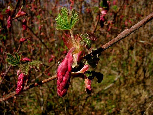 Redflower Currant (Ribes Sanguineum) https://www.sagebud.com/redflower-currant-ribes-sanguineum