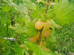 European Gooseberry