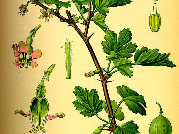 European Gooseberry (Ribes Uva-Crispa) https://www.sagebud.com/european-gooseberry-ribes-uva-crispa