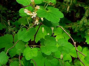 Sticky Currant