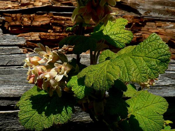 Sticky Currant (Ribes Viscosissimum) https://www.sagebud.com/sticky-currant-ribes-viscosissimum