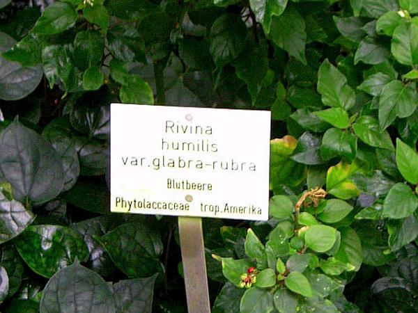 Rivina (Rivina) https://www.sagebud.com/rivina-rivina/