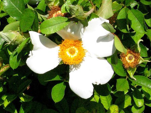 Macartney Rose (Rosa Bracteata) https://www.sagebud.com/macartney-rose-rosa-bracteata