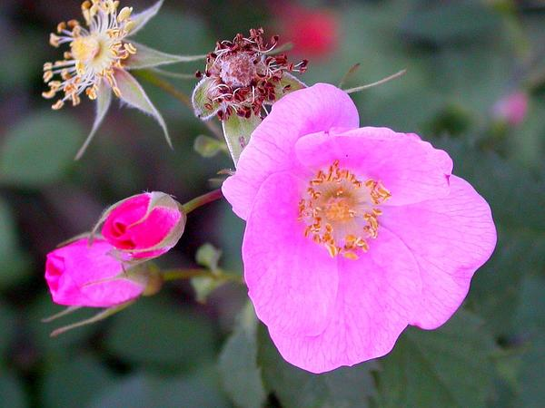 California Wildrose (Rosa Californica) https://www.sagebud.com/california-wildrose-rosa-californica
