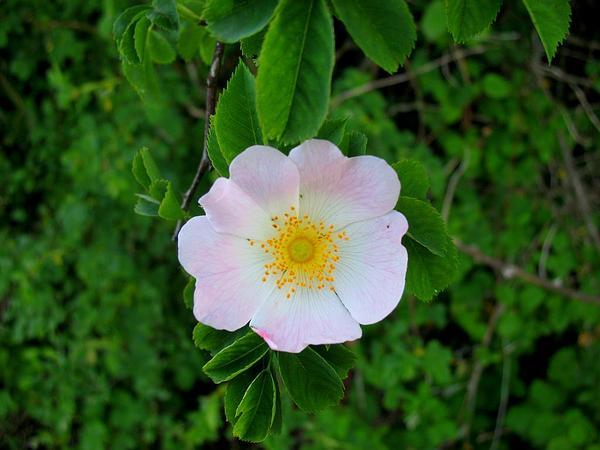 Dog Rose (Rosa Canina) https://www.sagebud.com/dog-rose-rosa-canina