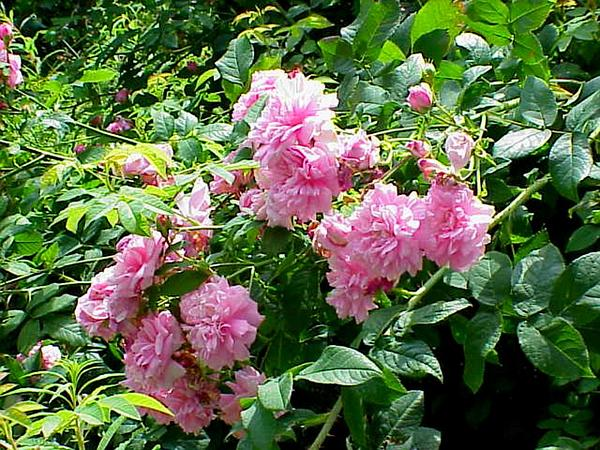 Damask Rose (Rosa Damascena) https://www.sagebud.com/damask-rose-rosa-damascena/