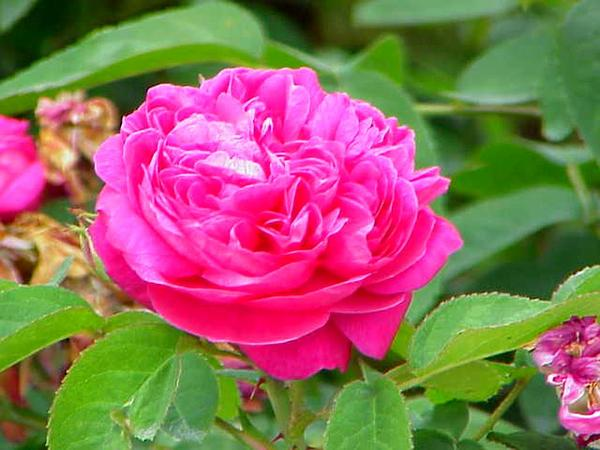 Damask Rose (Rosa Damascena) https://www.sagebud.com/damask-rose-rosa-damascena