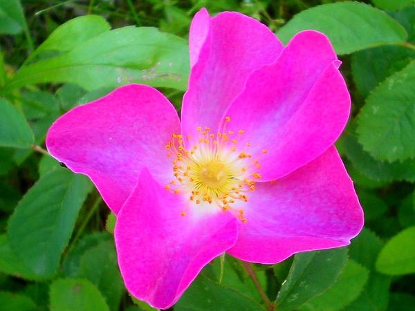 French Rose (Rosa Gallica) https://www.sagebud.com/french-rose-rosa-gallica