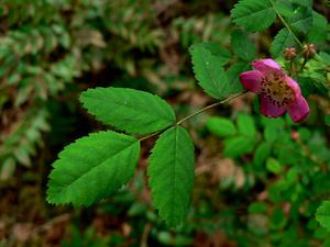 Dwarf Rose