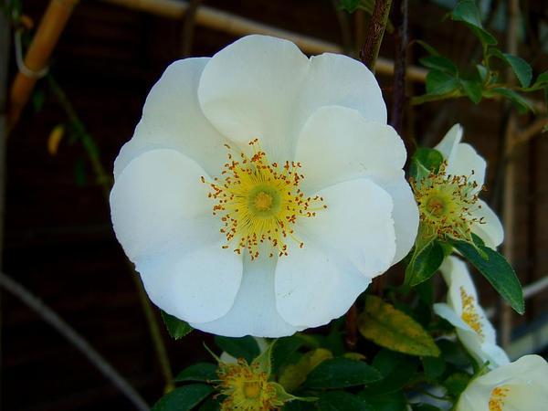 Cherokee Rose (Rosa Laevigata) https://www.sagebud.com/cherokee-rose-rosa-laevigata