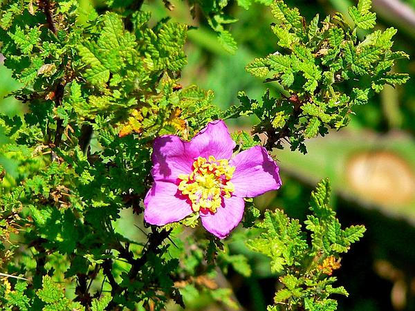 Baja Rose (Rosa Minutifolia) https://www.sagebud.com/baja-rose-rosa-minutifolia