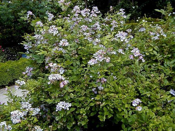 Multiflora Rose (Rosa Multiflora) https://www.sagebud.com/multiflora-rose-rosa-multiflora