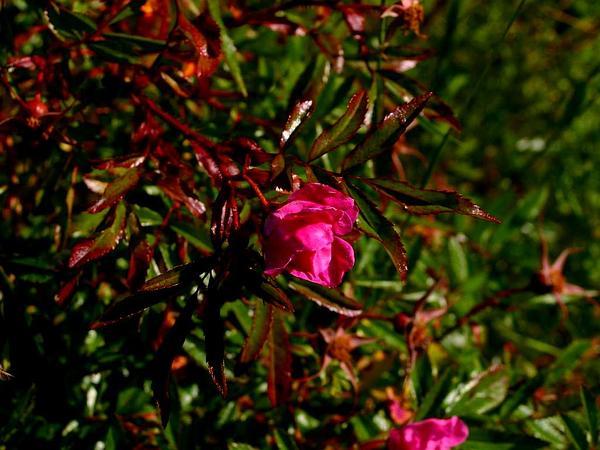 Shining Rose (Rosa Nitida) https://www.sagebud.com/shining-rose-rosa-nitida