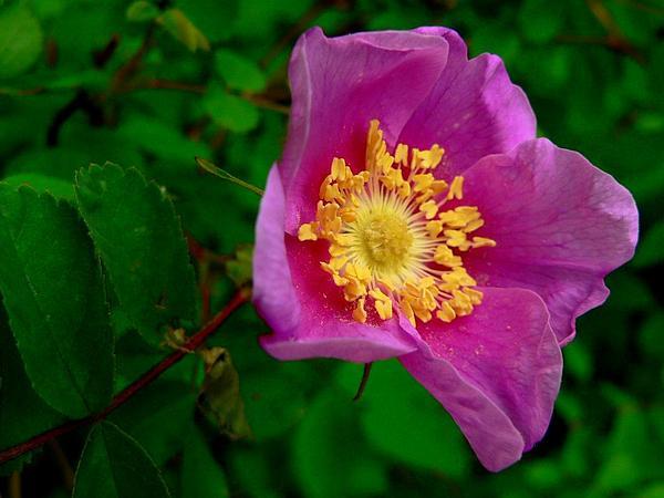 Nootka Rose (Rosa Nutkana) https://www.sagebud.com/nootka-rose-rosa-nutkana