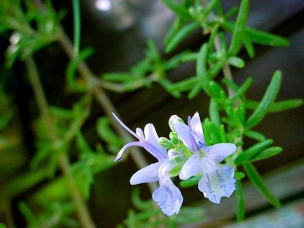 Rosemary (Rosmarinus Officinalis) https://www.sagebud.com/rosemary-rosmarinus-officinalis/