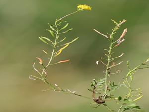 Bog Yellowcress