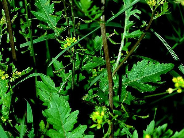 Bog Yellowcress (Rorippa Palustris) https://www.sagebud.com/bog-yellowcress-rorippa-palustris/