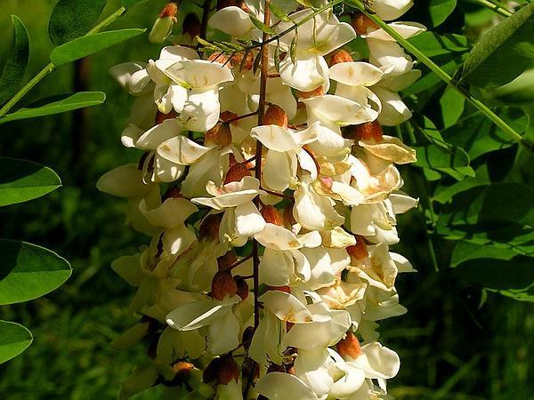 Black Locust (Robinia Pseudoacacia) https://www.sagebud.com/black-locust-robinia-pseudoacacia