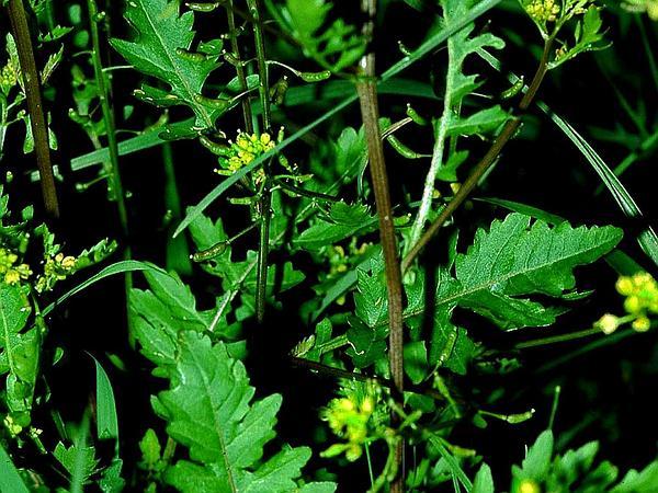 Yellowcress (Rorippa) https://www.sagebud.com/yellowcress-rorippa