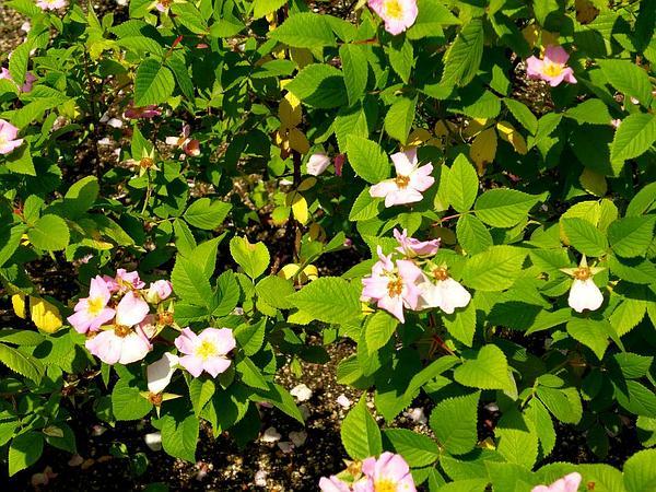 Climbing Rose (Rosa Setigera) https://www.sagebud.com/climbing-rose-rosa-setigera