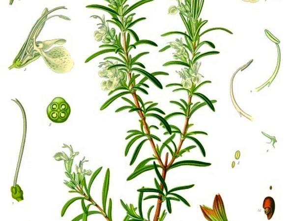 Rosemary (Rosmarinus) https://www.sagebud.com/rosemary-rosmarinus