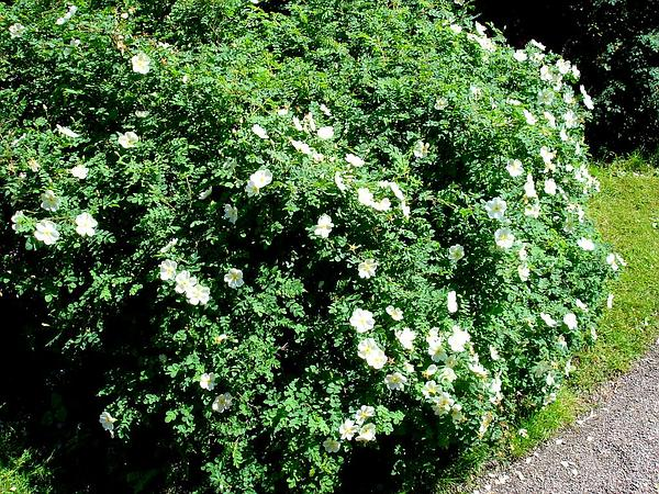 Scotch Rose (Rosa Spinosissima) https://www.sagebud.com/scotch-rose-rosa-spinosissima/
