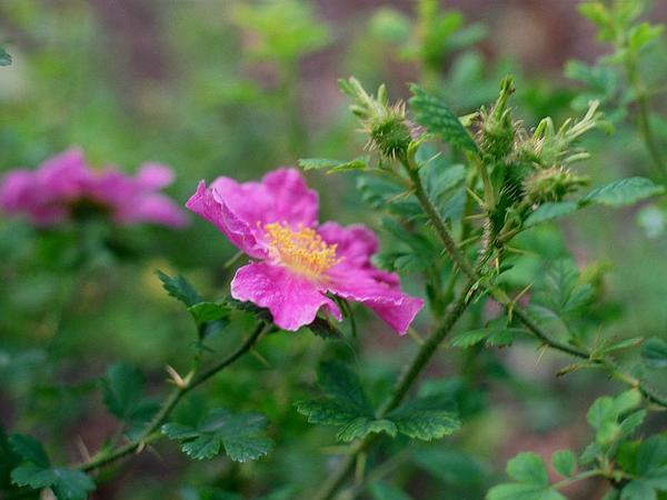 Desert Rose (Rosa Stellata) https://www.sagebud.com/desert-rose-rosa-stellata