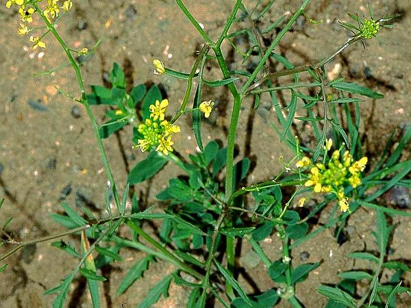 Creeping Yellowcress (Rorippa Sylvestris) https://www.sagebud.com/creeping-yellowcress-rorippa-sylvestris