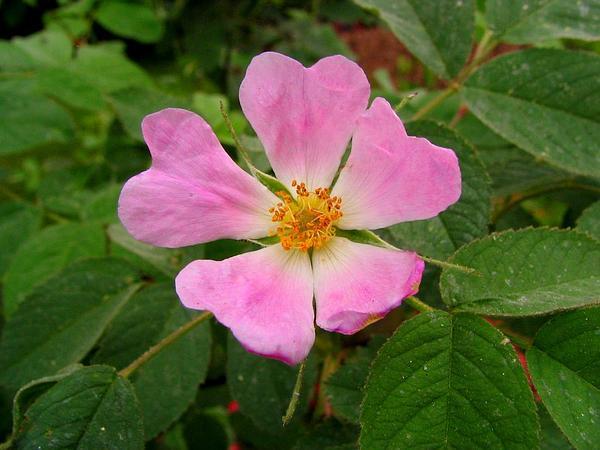 Apple Rose (Rosa Villosa) https://www.sagebud.com/apple-rose-rosa-villosa