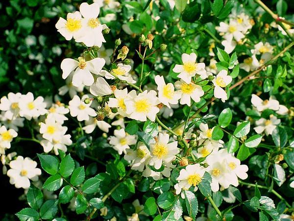 Memorial Rose (Rosa Wichuraiana) https://www.sagebud.com/memorial-rose-rosa-wichuraiana