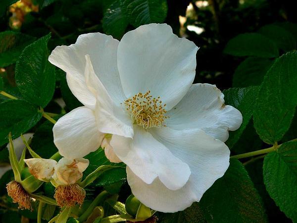 Woods' Rose (Rosa Woodsii) https://www.sagebud.com/woods-rose-rosa-woodsii/