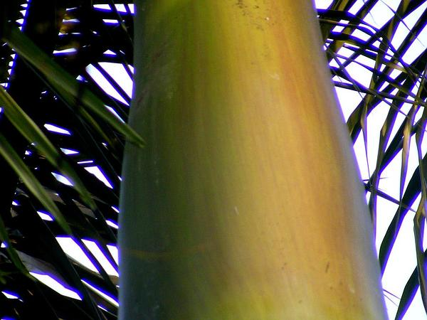 Royal Palm (Roystonea) https://www.sagebud.com/royal-palm-roystonea