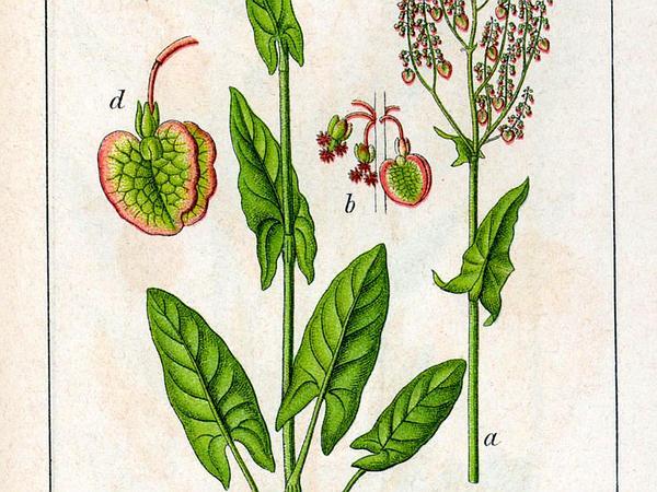 Garden Sorrel (Rumex Acetosa) https://www.sagebud.com/garden-sorrel-rumex-acetosa
