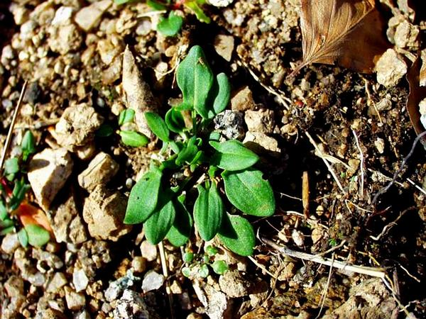 Common Sheep Sorrel (Rumex Acetosella) https://www.sagebud.com/common-sheep-sorrel-rumex-acetosella/