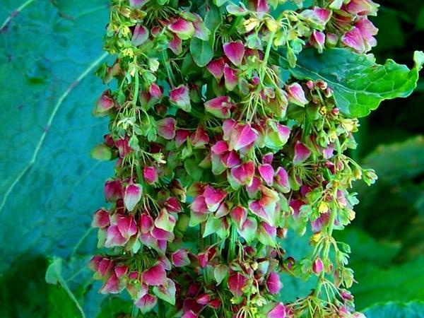 Munk's Rhubarb (Rumex Alpinus) https://www.sagebud.com/munks-rhubarb-rumex-alpinus