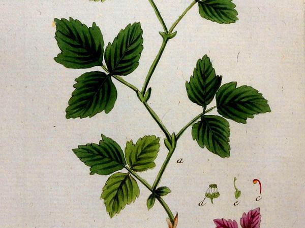 Arctic Blackberry (Rubus Arcticus) https://www.sagebud.com/arctic-blackberry-rubus-arcticus