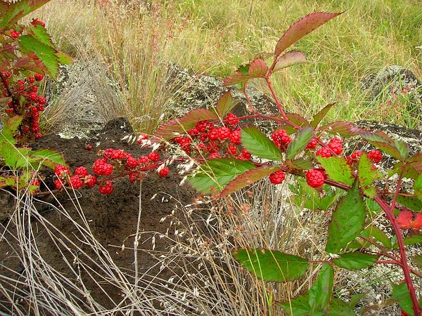 Sawtooth Blackberry (Rubus Argutus) https://www.sagebud.com/sawtooth-blackberry-rubus-argutus
