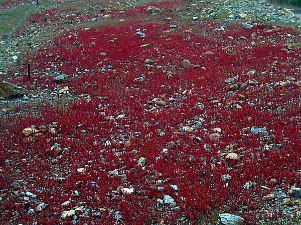 Red Dock (Rumex Bucephalophorus) https://www.sagebud.com/red-dock-rumex-bucephalophorus
