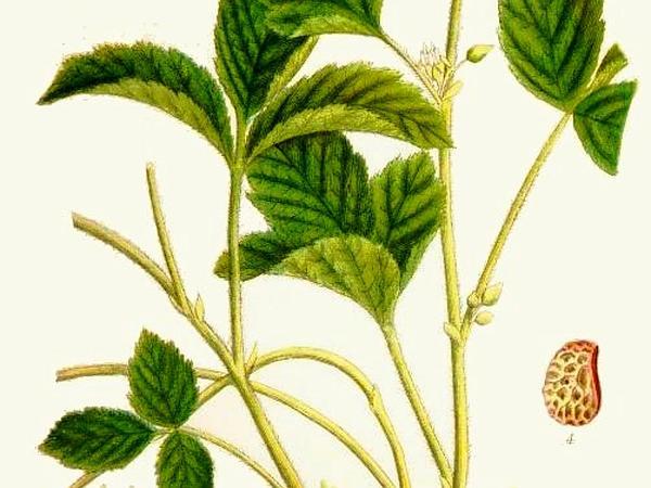 Blackberry (Rubus) https://www.sagebud.com/blackberry-rubus